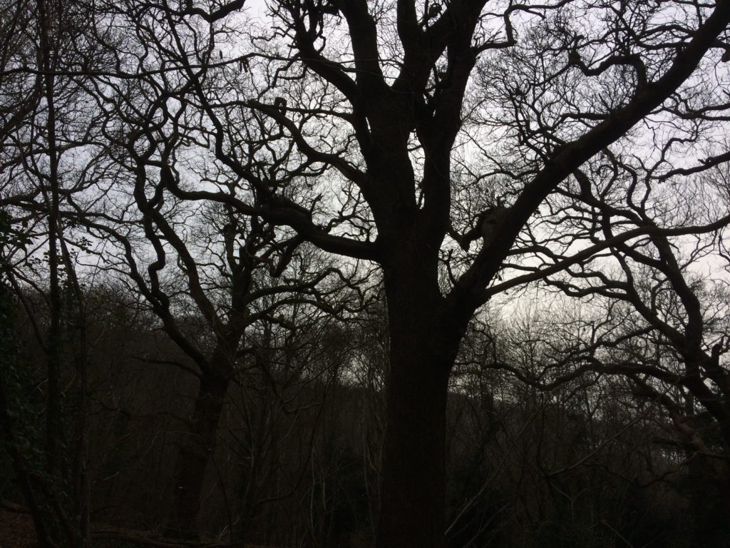 Ancient Oak Woodland Borthwood Copse Isle of Wight
